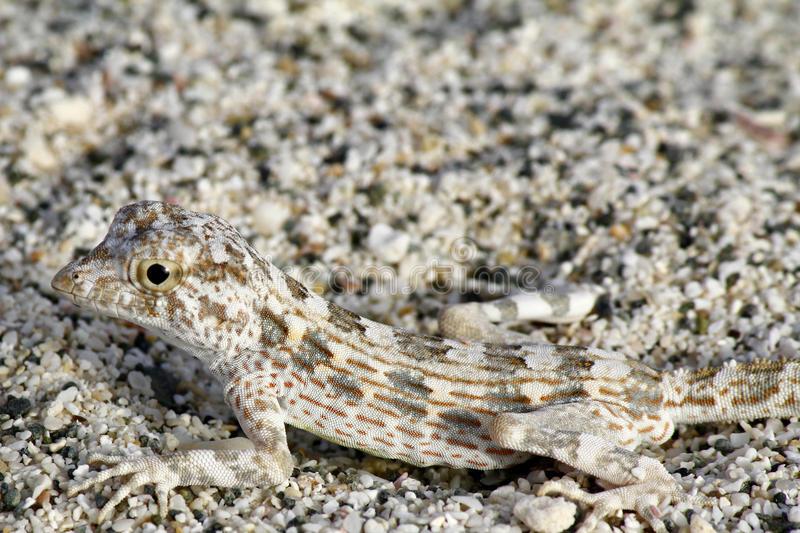 camuflaje-del-lagarto-33221372
