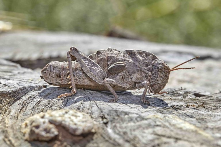 Saltamontes-género-Eumigus-7-768x512
